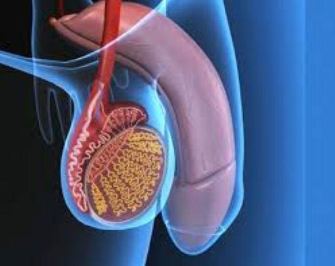 erezione debole a causa dellastinenza orsacchiotto con pene