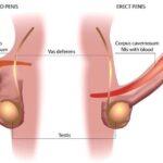Il meccanismo dell'erezione